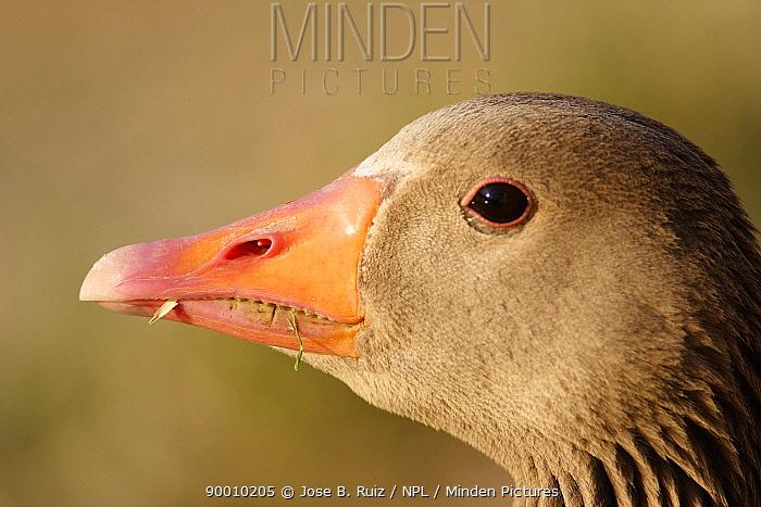 Greylag Goose (Anser anser) male head, feeding, Spain  -  Jose B. Ruiz/ npl