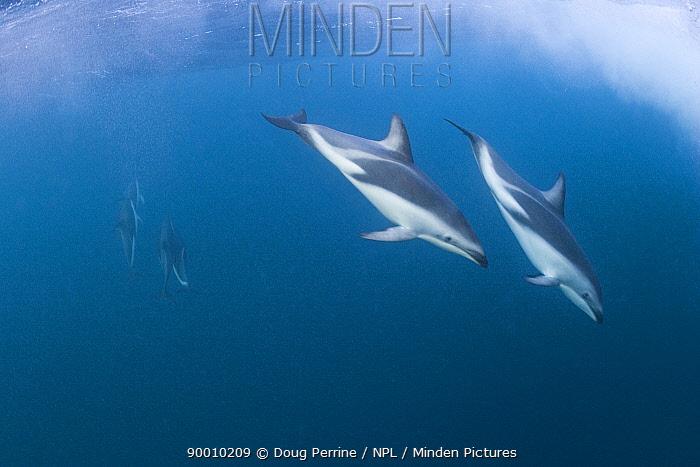Dusky Dolphin (Lagenorhynchus obscurus), underwater, Kaikourua, South Island, New Zealand, South Pacific Ocean  -  Doug Perrine/ npl