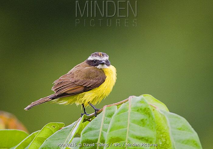 Rusty margined Flycatcher (Myiozetetes cayanensis harterti) perching on branch, Gamboa Road, Panama  -  David Tipling/ npl