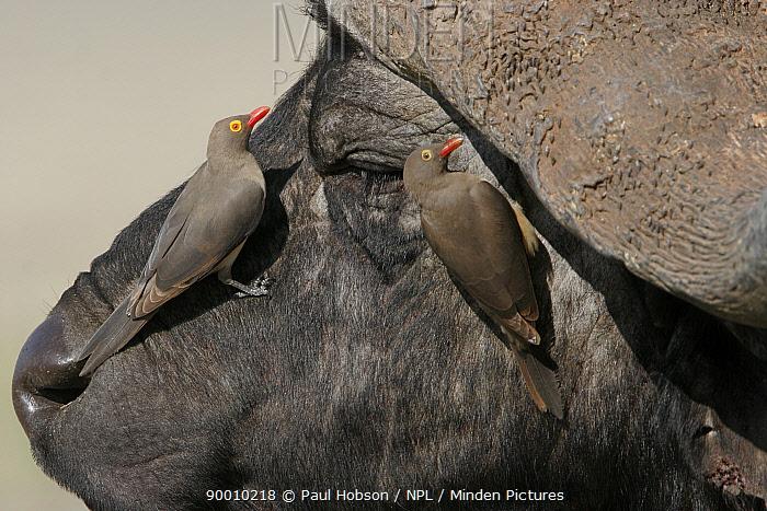 Red-billed Oxpecker (Buphagus erythrorhynchus) on buffalo head, Nakuru, Kenya  -  Paul Hobson/ npl
