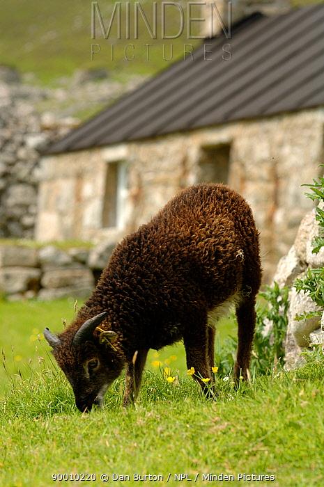 Domestic Sheep (Ovis aries) grazing in front of abandonned house, Saint, St Kilda Island, Western Islands, Outer Hebrides, Scotland  -  Dan Burton/ npl