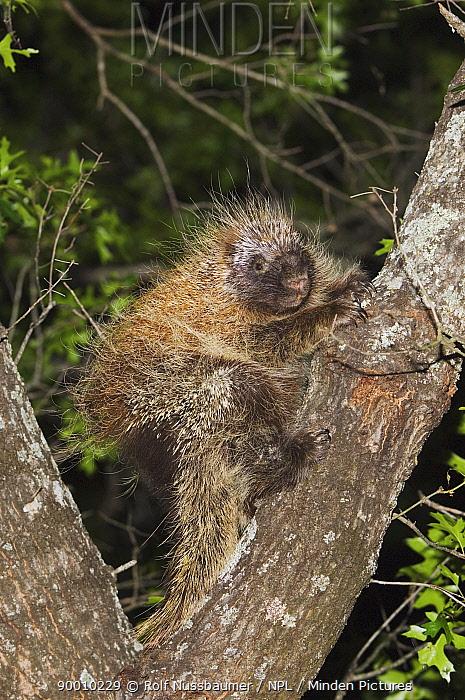 Common Porcupine (Erethizon dorsatum) climbing Texas Oak tree (Quercus buckleyi) Hill Country, Texas  -  Rolf Nussbaumer/ npl