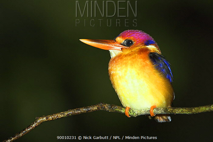 Black-backed Kingfisher (Ceryx erithacus) Danum Valley, Sabah, Borneo  -  Nick Garbutt/ npl