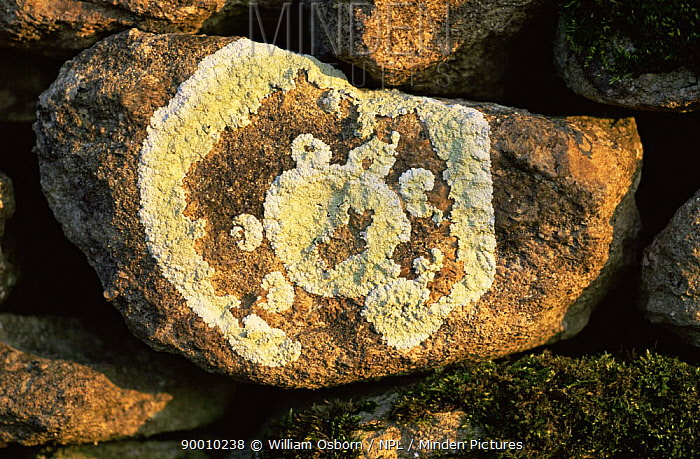 Lichen (Buellia canescens) growing on stone wall, UK  -  William Osborn/ npl