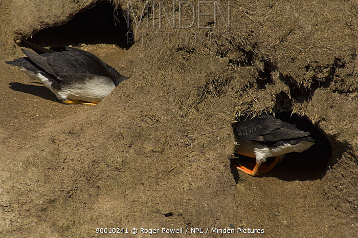 Atlantic Puffin (Fratercula arctica) pair inspecting a burrow for a possible nest-site, Caithness, Scotland United Kingdom  -  Roger Powell/ npl