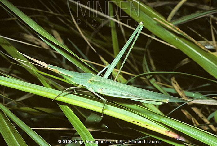 Towered, or nosed, grasshopper (Acrida hungarica) female mimicking grass, France  -  Premaphotos/ npl