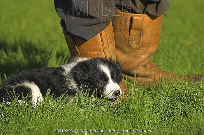 Border Collie, 6-week puppy, lying next to owner's feet, UK  -  Colin Seddon/ npl