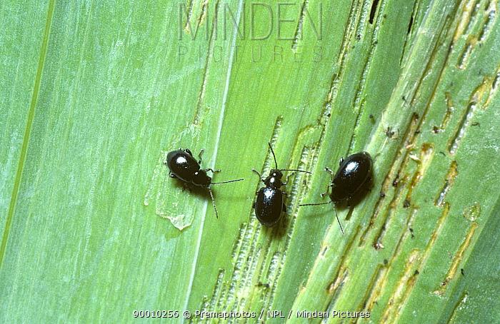 Flea beetle (Aphthona coerulea) feeding on Yellow flag iris leaf, UK  -  Premaphotos/ npl