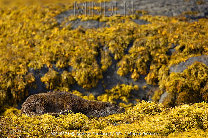 European River Otter (Lutra lutra) adult resting amongst seaweed, Isle of Mull, Scotland United Kingdom  -  Andrew Parkinson/ npl