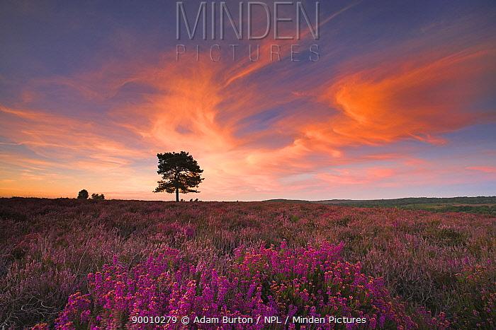 Summer evening on New Forest heathland, Hampshire, England  -  Adam Burton/ npl