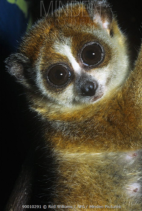 Pygmy Slow Loris (Nycticebus pygmaeus) portrait Captive Occurs Laos, China and Vietnam  -  Rod Williams/ npl