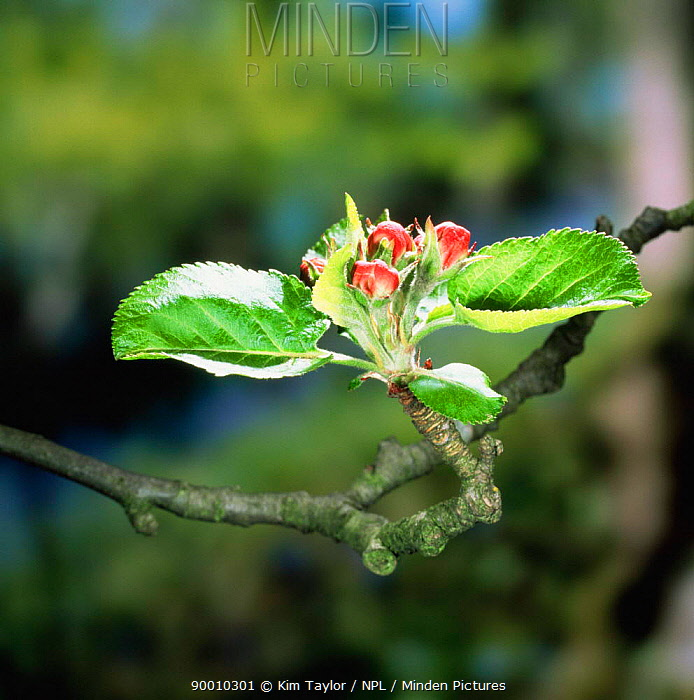 Crab apple (Malus sylvestris) buds opening in Spring Europe  -  Kim Taylor/ npl