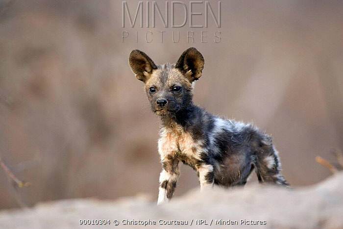 African Wild Dog (Lycaon pictus) young on den in old termite mound, Northern Okavango Delta, Botswana  -  Christophe Courteau/ npl