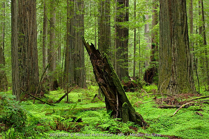 Coastal Giant Redwood forest (Sequoia sempervirens) with Redwood sorrel (Oxalis oregana) and ferns, Humboldt Redwoods State Park, California, USA  -  Michael Hutchinson/ npl