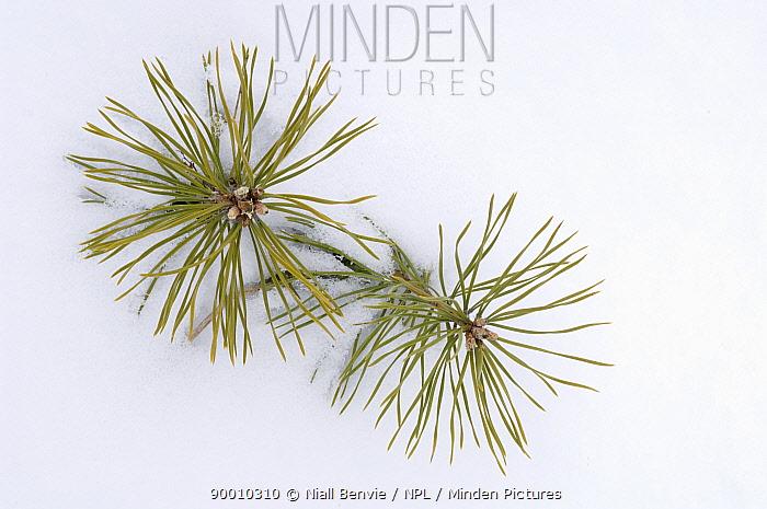 Scotch Pine (Pinus sylvestris) seedlings emerging through snow, United Kingdom  -  Niall Benvie/ npl