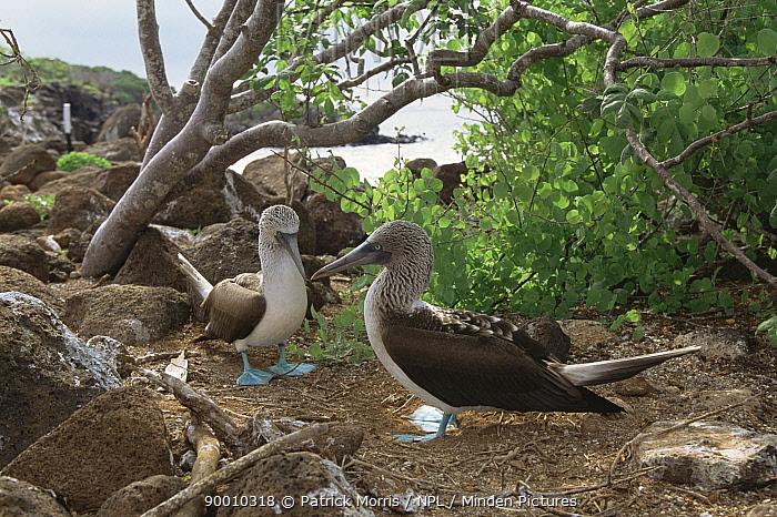 Blue-footed Booby (Sula nebouxii) pair Daphne Major Is, Galapagos, Ecuador  -  Patrick Morris/ npl