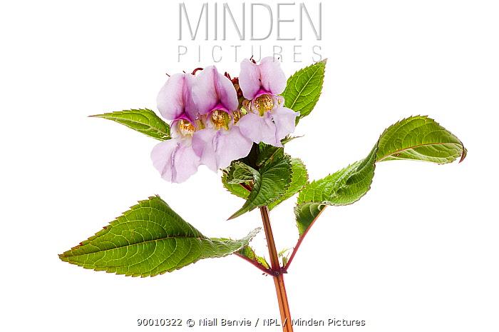 Himalayan balsam flowers (Impatiens glandulifera) Scotland, UK, July  -  Niall Benvie/ npl