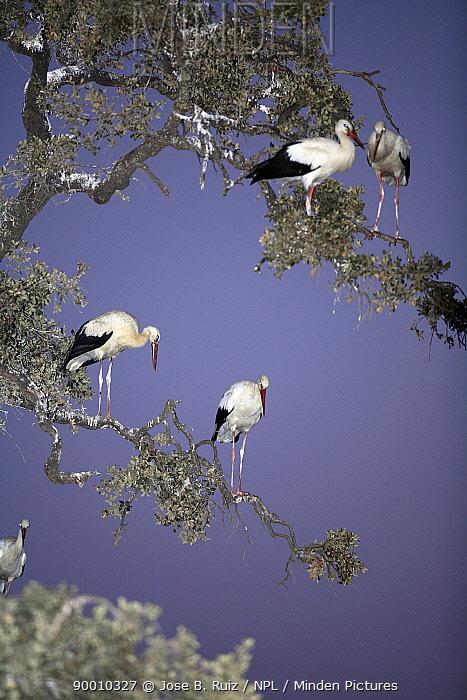 White Stork (Ciconia ciconia) perching in tree, Donana National Park, Sevilla, Spain  -  Jose B. Ruiz/ npl
