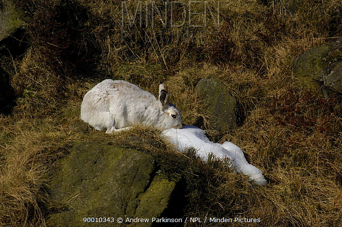 Mountain Hare (Lepus timidus) eating snow on moorland conspicuous in its winter coat, Peak District National Park, Derbyshire, United Kingdom  -  Andrew Parkinson/ npl
