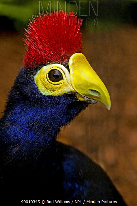 Ross's Turaco (Musophaga rossae) captive, from East Africa  -  Rod Williams/ npl