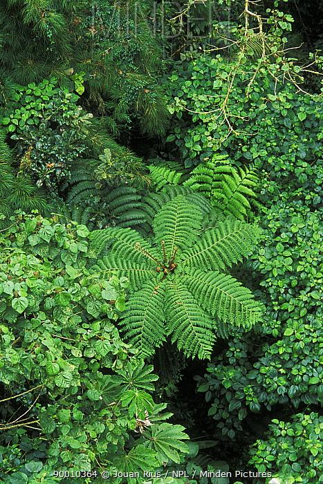 Tree fern and tropical vegetation, Monteverde Nature Reserve, Costa Rica  -  Jouan & Rius/ npl