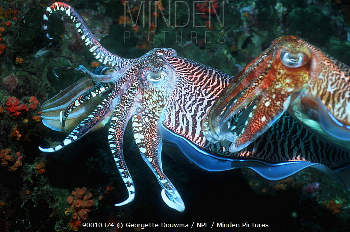 Broadclub Cuttlefish (Sepia latimanus) male protecting egg laying female from rival male, Andaman Sea  -  Georgette Douwma/ npl