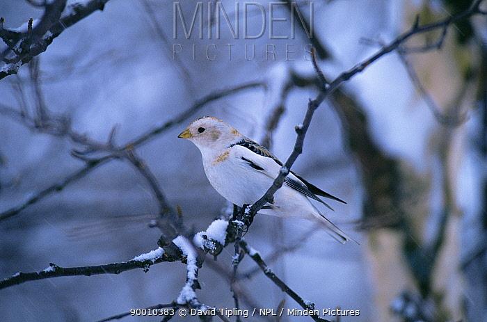 Snow Bunting (Plectrophenax nivalis) in winter  -  David Tipling/ npl