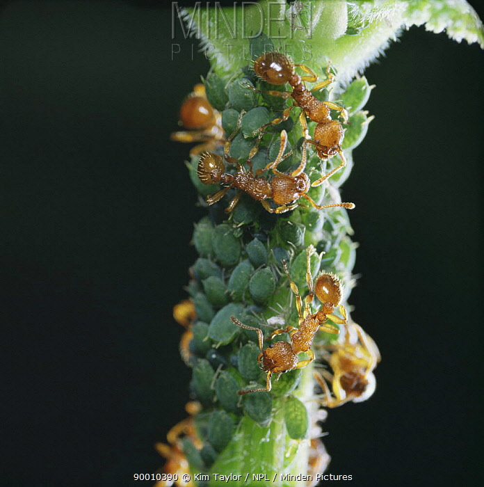 Red ants (Myrmica rubra) collecting honeydew from Aphids, UK  -  Kim Taylor/ npl