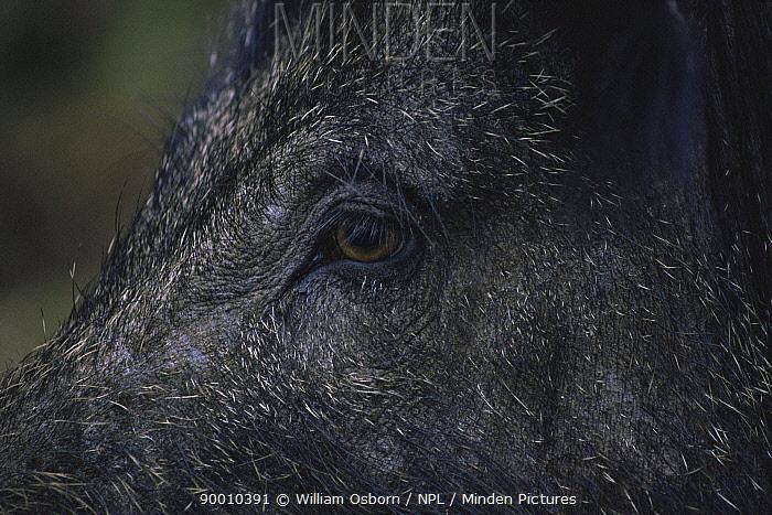 Wild Boar (Sus scrofa) female, face and eye United Kingdom  -  William Osborn/ npl