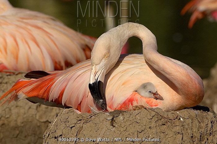 Chilean Flamingo (Phoenicopterus chilensis) with chick on nest, WWT, Slimbridge, United Kingdom  -  Dave Watts/ npl