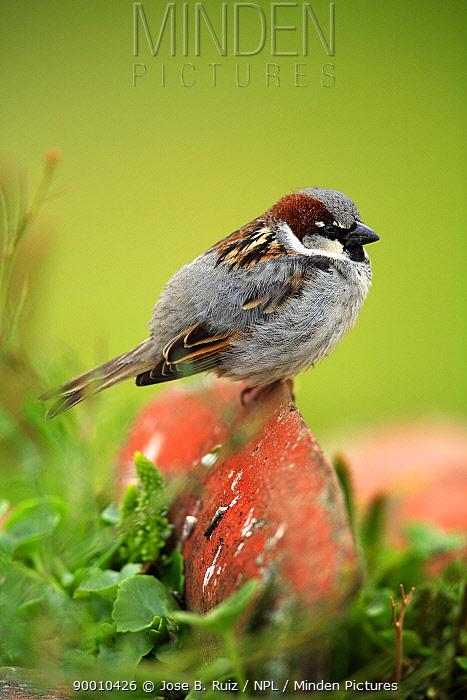 House Sparrow (Passer domesticus) male perching on stone, Quintana de la Serena, Badajoz, Extremadura, Spain  -  Jose B. Ruiz/ npl