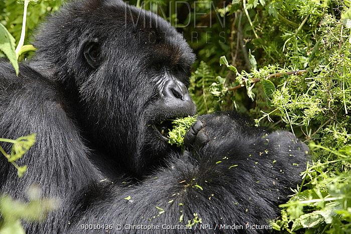 Mountain Gorilla (Gorilla gorilla beringei) adult male black back feeding in dense vegetation in Volcanoes National Park, Rwanda, at an altitude of 3000m, short dry season, February  -  Christophe Courteau/ npl