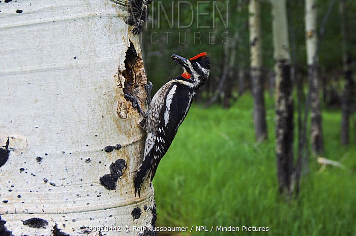 Red-naped Sapsucker (Sphyrapicus nuchalis) female at nest hole in aspen tree, Rocky Mountain National Park, Colorado  -  Rolf Nussbaumer/ npl