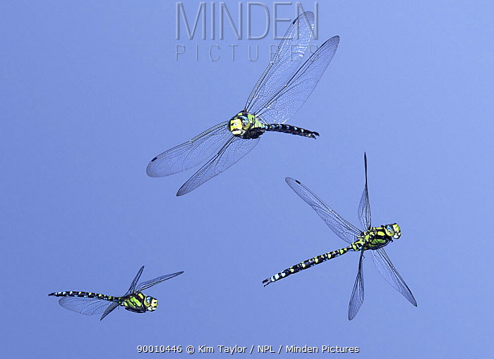 Southern Hawker Dragonfly (Aeshna cyanea) male in flight, 3 images showing level flight, banking and turning, Surrey, United Kingdom Digital composite  -  Kim Taylor/ npl