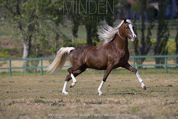 Chocolate Peruvian Paso stallion running in paddock, Ojai, California, USA  -  Carol Walker/ npl