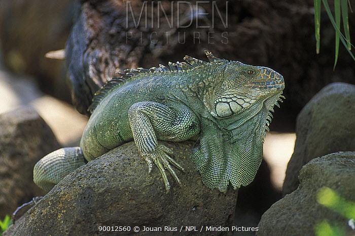 Green Iguana (Iguana iguana) on rock, pacific coast, Costa Rica  -  Jouan & Rius/ npl
