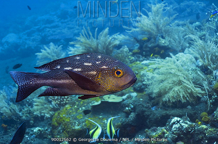 Midnight Snapper (Macolor macularis), Bali, Indonesia  -  Georgette Douwma/ npl