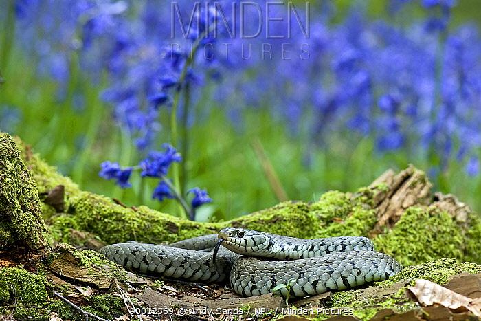 Grass Snake (Natrix natrix) tasting the air for danger while basking on tree stump among Bluebells, Hertfordshire, England United Kingdom  -  Andy Sands/ npl