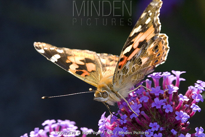 Painted Lady butterfly (Cynthia, Vanessa cardui) feeding on (Verbena bonariensis) flowers, UK, September  -  Nigel Bean/ npl