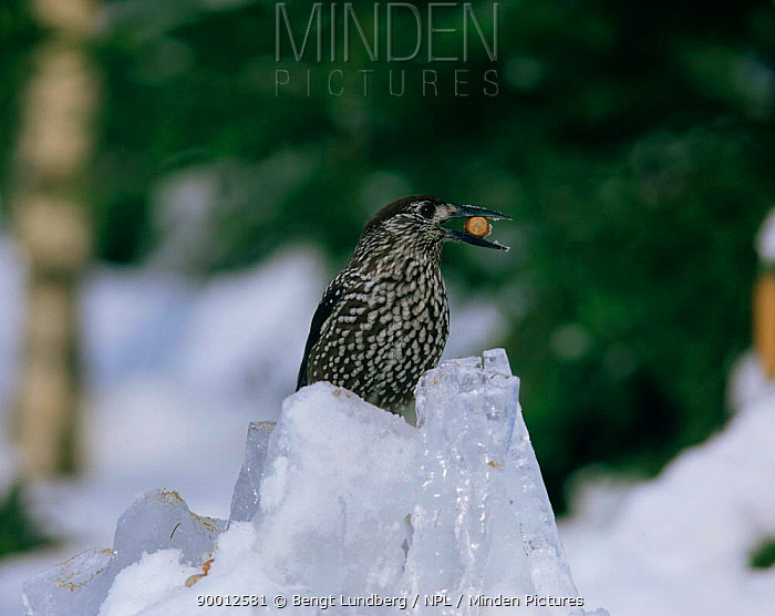 Spotted Nutcracker (Nucifraga caryocatactes) with nut in beak Sweden  -  Bengt Lundberg/ npl