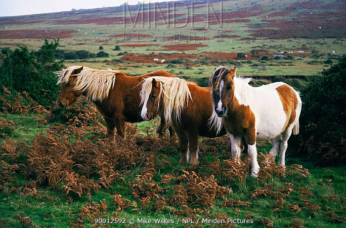 Dartmoor ponies (Equus caballus) near Cox tor, Dartmoor National Park, Devon, UK  -  Mike Wilkes/ npl