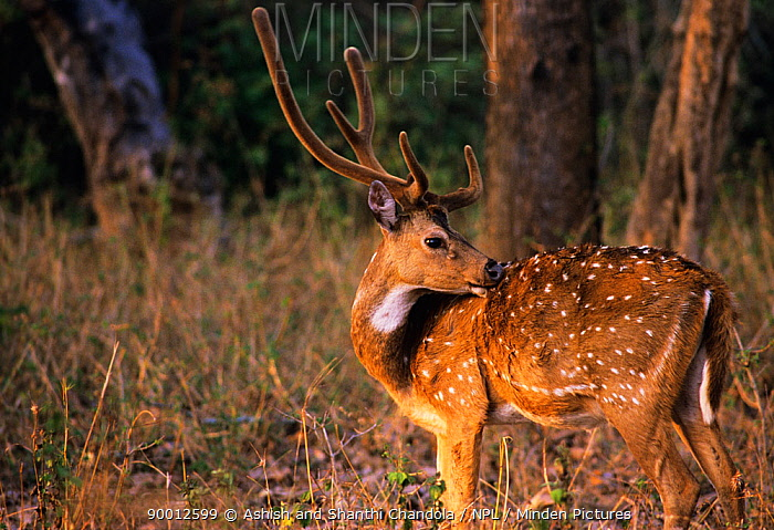 Axis Deer (Axis axis) stag with antlers in velvet, Bandipur National Park, India  -  Ashish & Shanthi Chandola/ npl