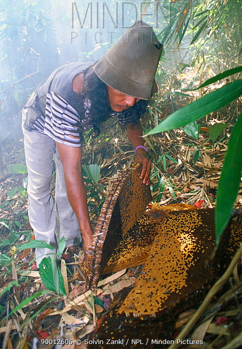 Nest of Giant honey bee (Apis dorsata binghami) is cut from tree and squeezed to harvest wild honey, North Pamona sub-district, Sulawesi, Indonesia  -  Solvin Zankl/ npl
