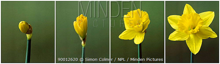 Time lapse shots of Daffodil flower opening sequence(Narcissus sp) UK  -  Simon Colmer/ npl
