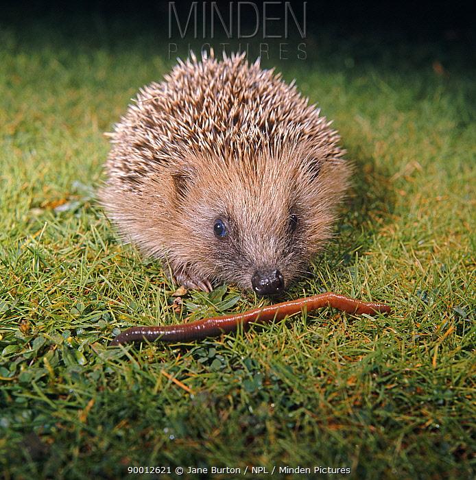 Brown-breasted Hedgehog (Erinaceus europaeus) juvenile sniffing an earthworm, captive, United Kingdom  -  Jane Burton/ npl