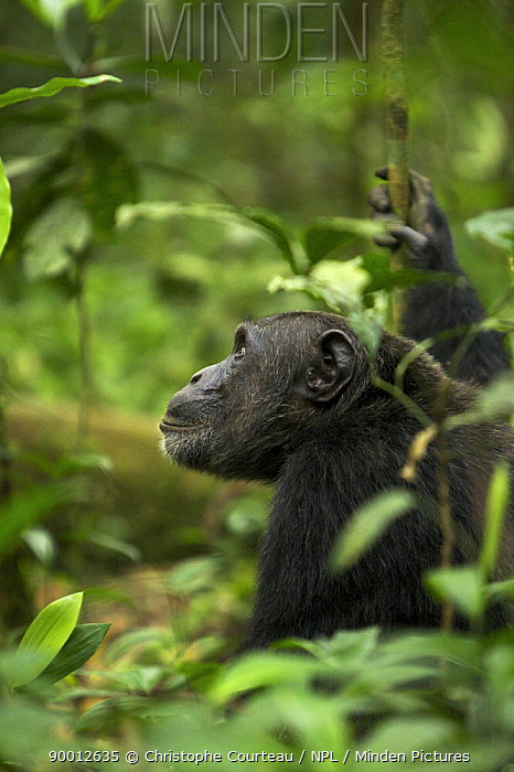 Eastern Chimpanzee (Pan troglodytes schweinfurthii) viewed through dense foliage Kibale National Park, Uganda  -  Christophe Courteau/ npl