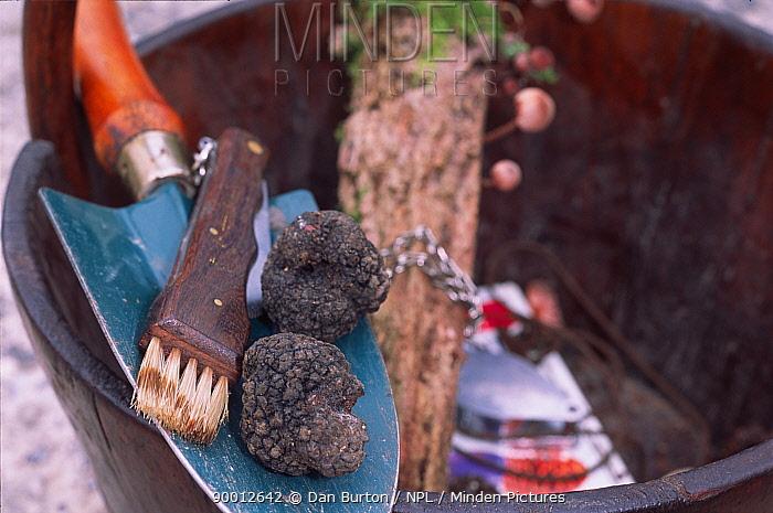 Black truffle (Tuber melanosporum) with tools for digging truffles out of the ground, France  -  Dan Burton/ npl
