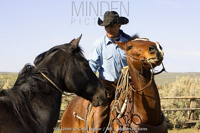 Cowboy removing rope from a horse's neck in a corral at Sombrero Ranch, Craig, Colorado Model released  -  Carol Walker/ npl