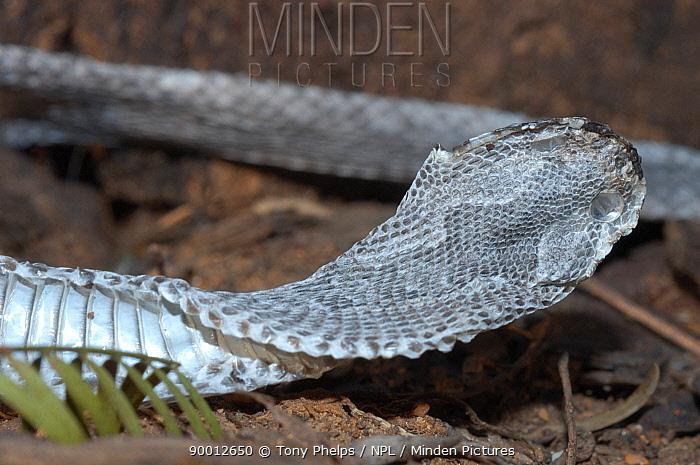 Shed skin of Red adder (Bitis rubida) Little Karoo, South Africa  -  Tony Phelps/ npl