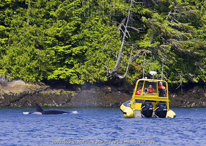 Orca (Orcinus orca) transient whale and whale watching boat in Barkley Sound, Vancouver Island, Canada  -  Matthew Maran/ npl